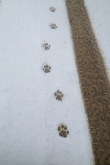 photo_2013_04_cougar-ynx-bobcat-wolf-guided-hunting-trips-in-british-columbia