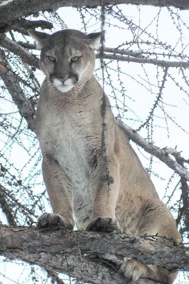 photo_2013_10_cougar-ynx-bobcat-wolf-guided-hunting-trips-in-british-columbia
