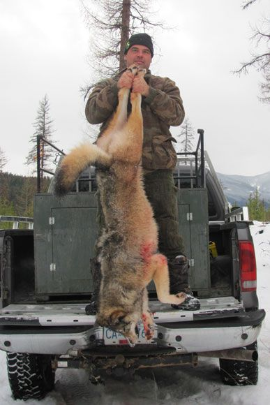 photo_2013_16_cougar-ynx-bobcat-wolf-guided-hunting-trips-in-british-columbia