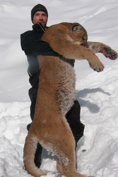 photo_2013_17_cougar-ynx-bobcat-wolf-guided-hunting-trips-in-british-columbia