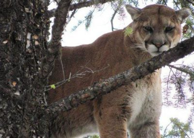 photo_329_cougar-ynx-bobcat-wolf-guided-hunting-trips-in-british-columbia
