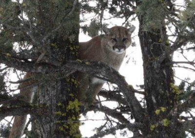 photo_340_cougar-ynx-bobcat-wolf-guided-hunting-trips-in-british-columbia